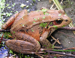 Redlegged Frog - Photo by Vadebergh ODFW
