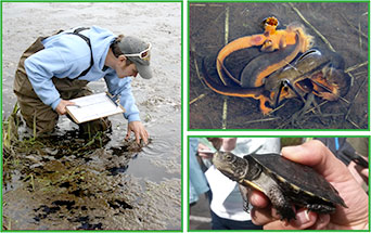 Jim looking for amphibian egg masses (left).  Breeding rough-skinned newts (upper right) and a western pond turtle (lower right).